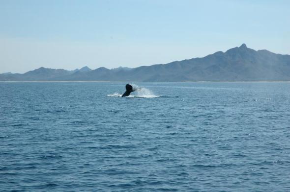 whaletail